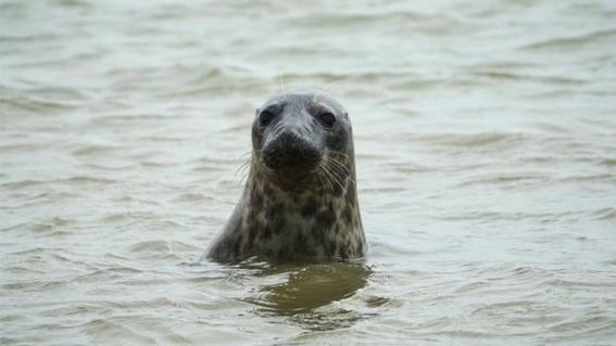 encuentran focas en el rio tamesis en inglaterra 2