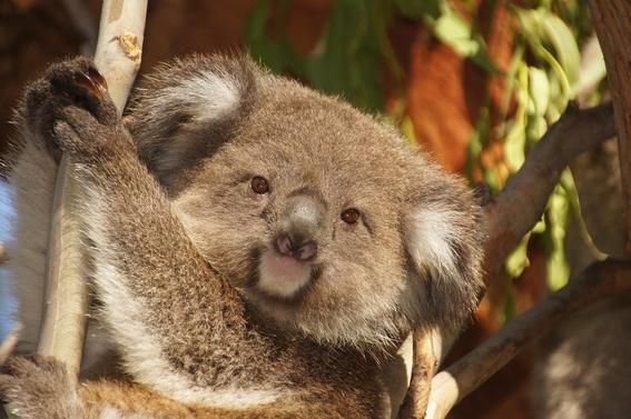 genoma koalas con clamidia 1