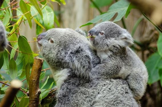 genoma koalas con clamidia 2