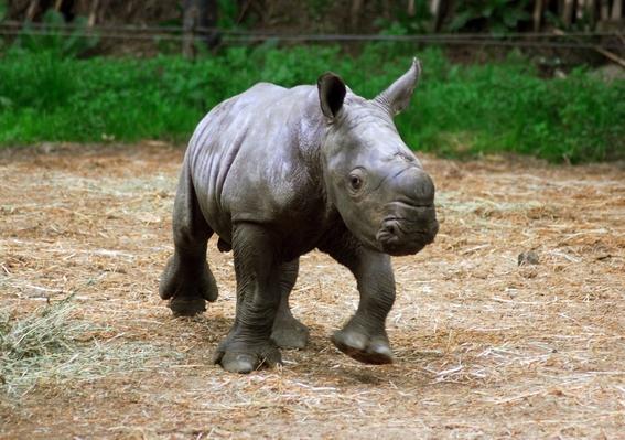 cientificos buscan salvar al rinoceronte blanco de la extincion 2