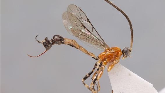 nueva especie de avispa inyecta sus huevos al picar 1
