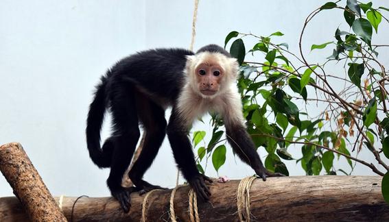 mono capuchino de reforma se quedara en zoologico de chapultepec 1