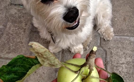 frutas y vegetales que puedes darle a tu perro 2