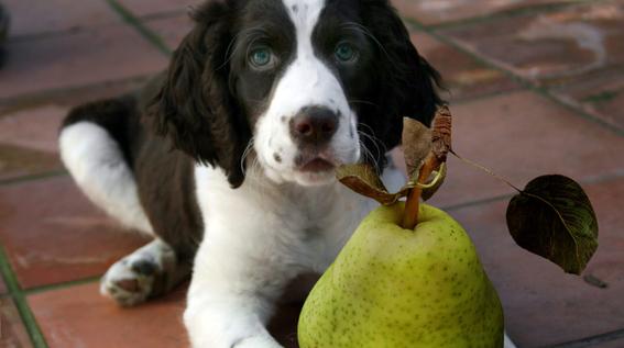 frutas y vegetales que puedes darle a tu perro 3