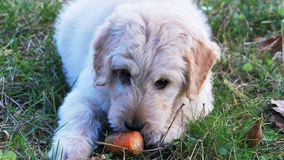 frutas y vegetales que puedes darle a tu perro 6