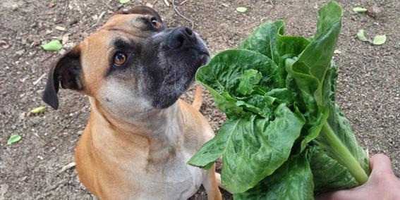 frutas y vegetales que puedes darle a tu perro 7