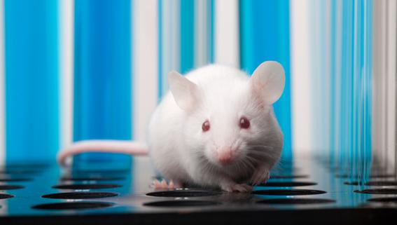 descubren cura de obesidad y diabetes en ratones 1