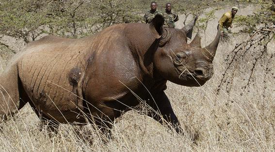 mueren ocho rinocerontes negros en un santuario en kenia 1