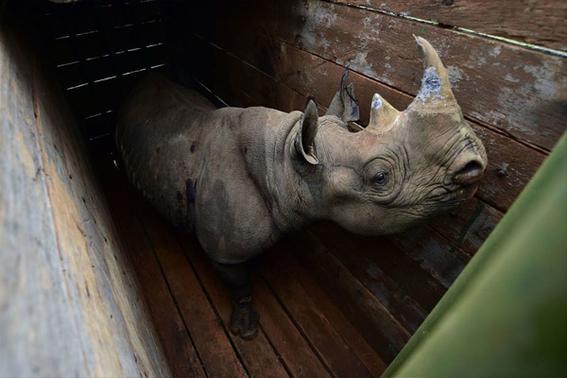 mueren ocho rinocerontes negros en un santuario en kenia 2