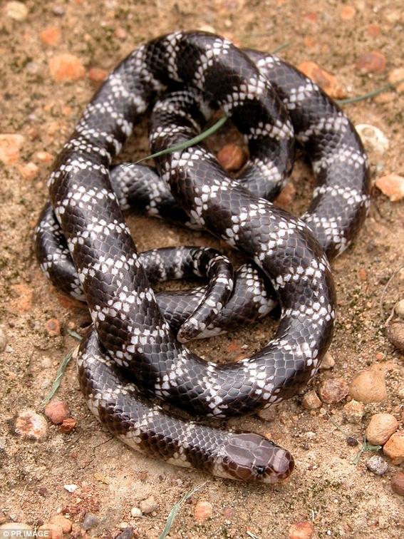 serpiente mas venenosa del mundo 1