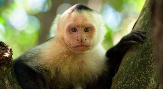 monos evolucionan y logran crear herramientas con piedras 2