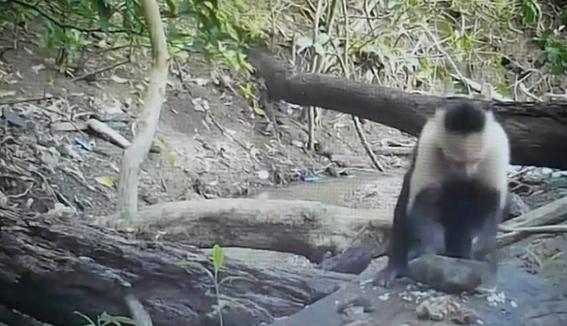 monos evolucionan y logran crear herramientas con piedras 3