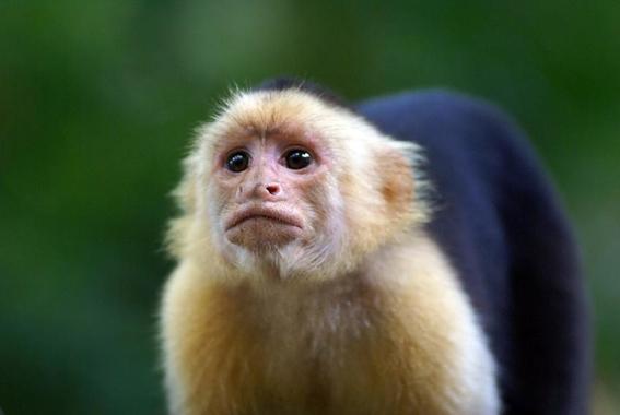 monos evolucionan y logran crear herramientas con piedras 4