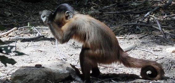 monos evolucionan y logran crear herramientas con piedras 5