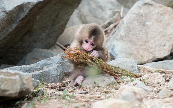 monos evolucionan y logran crear herramientas con piedras 6