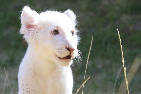 nacen leones blancos gemelos en zoologico de tlaxcala mexico 1