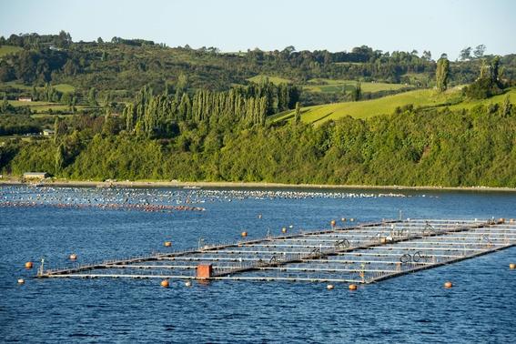salmones dopados con antibioticos se escapan en aguas de chile 1