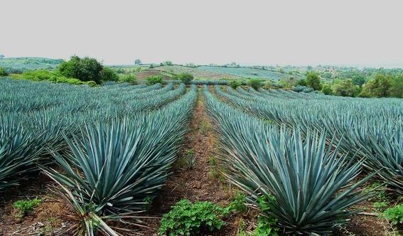 benefits of tequila 3