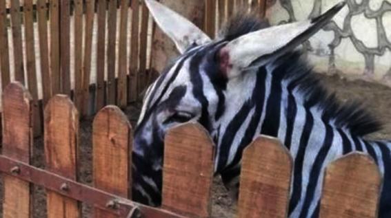 pintan burros como cebras en zoologico de egipto 2
