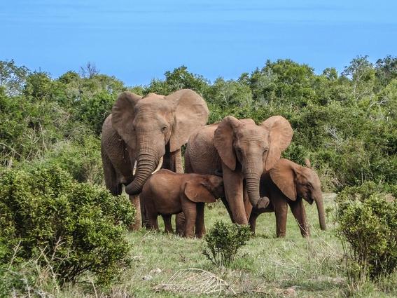 elefantes siembran arboles 1
