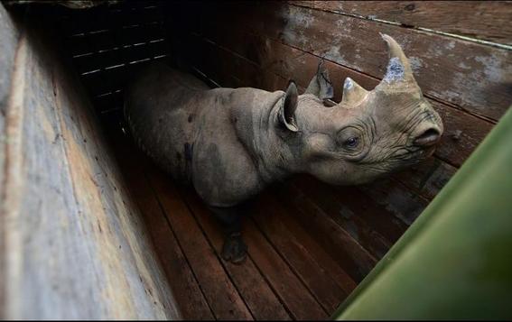 muere el ultimo rinoceronte negro en traslado fallido 1