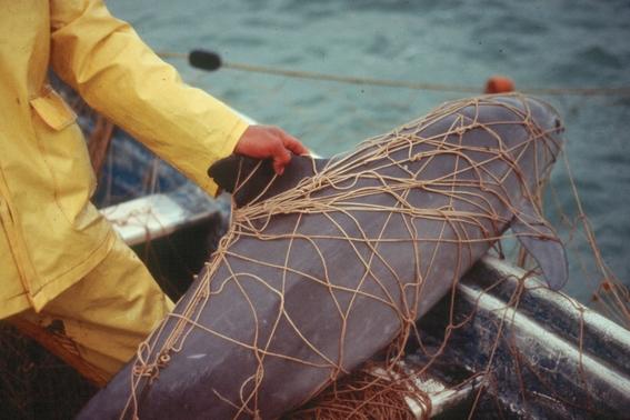 ¿por que esta en peligro de extincion la vaquita marina 3