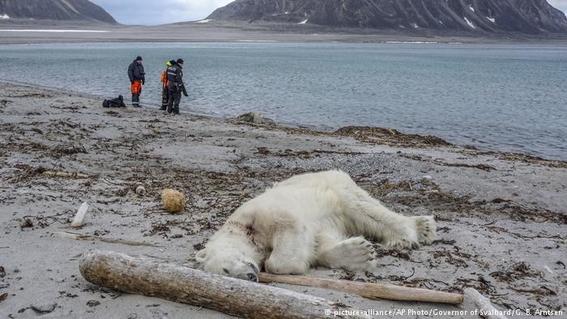 asesinan a oso polar en noruega 1