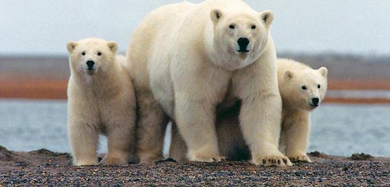 asesinan a oso polar en noruega 2