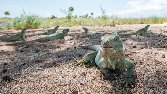 huracanes provocaron la evolucion de las iguanas 1