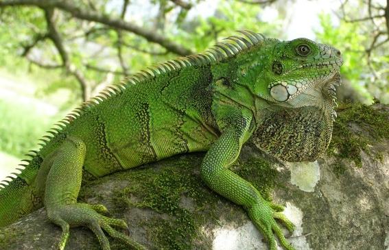 huracanes provocaron la evolucion de las iguanas 2