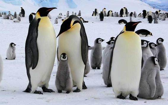 cambio climatico amenaza a los pingüinos rey 1