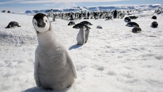 cambio climatico amenaza a los pingüinos rey 2