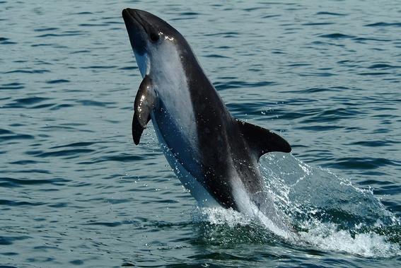 ¿por que esta en peligro de extincion la vaquita marina 4