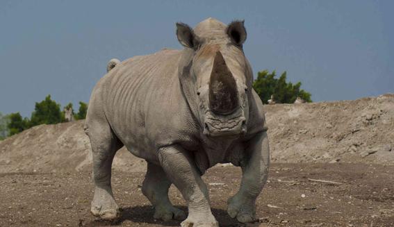 un rinoceronte ataco una camioneta en africam safari puebla 1