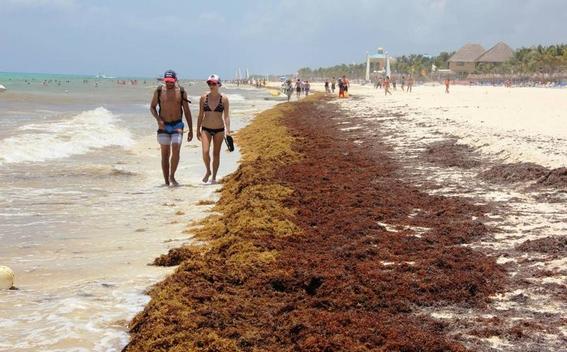 sargazo podria provocar un desastre ecologico 3