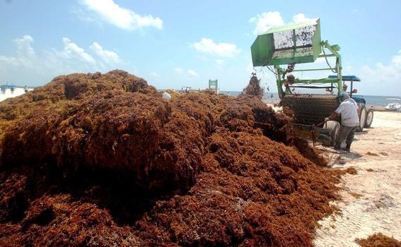 sargazo podria provocar un desastre ecologico 1