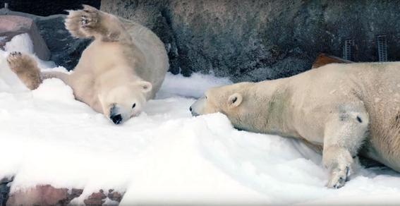 aumenta el numero de osos polares que se pueden cazar en rusia 1