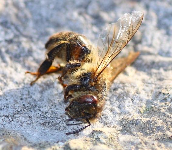rescatar abejas especie en peligro de extincion 1