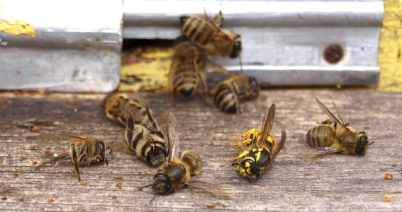 rescatar abejas especie en peligro de extincion 3