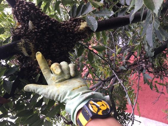 rescatar abejas especie en peligro de extincion 7