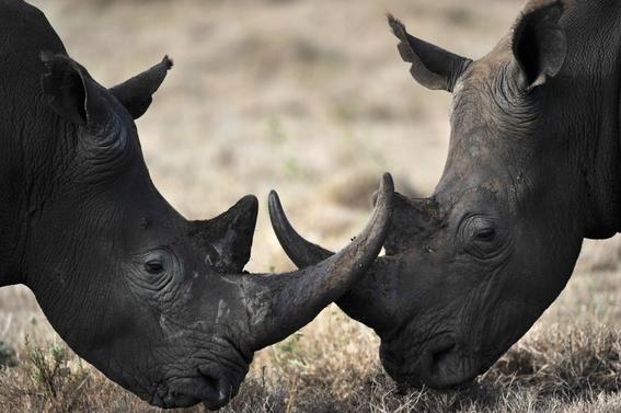 rinocerontes negros africa 1