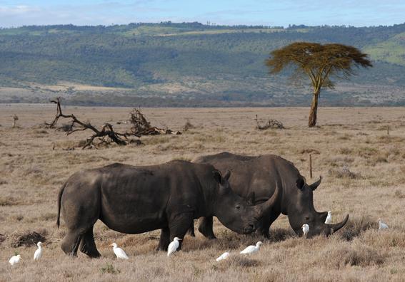 rinocerontes negros africa 2