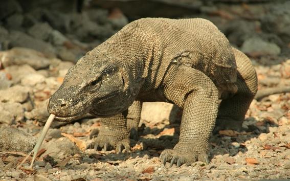 dragon de komodo cosas que no sabias sobre este sorprendente animal 5