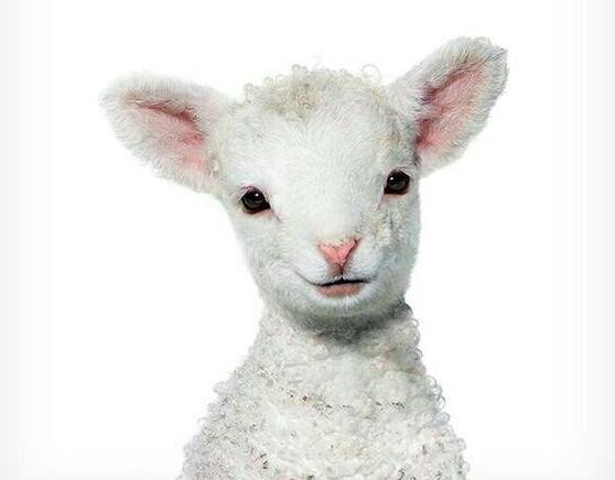 fotos de animales bebes reducen apetito por la carne 3