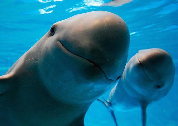 semarnat clonara a la vaquita marina si se extingue 2