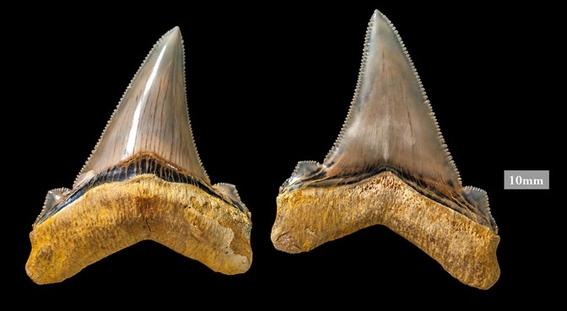 descubren dientes de tiburon gigante de la prehistoria 1