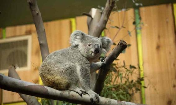 koala viaja a escocia en un avion 1