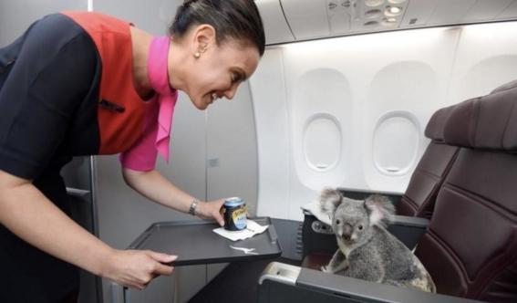 koala viaja a escocia en un avion 4