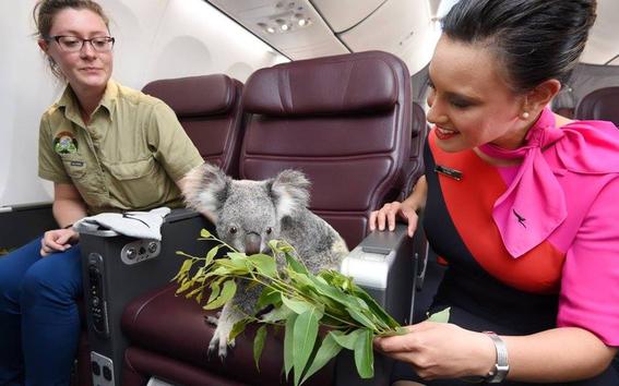 koala viaja a escocia en un avion 2