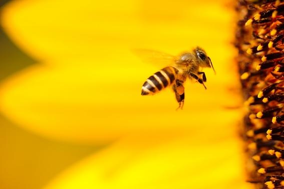 abejas alejan a los elefantes de los humanos 1
